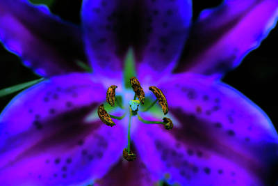 Photograph - Center Of The Asiatic Lily by Sherman Perry