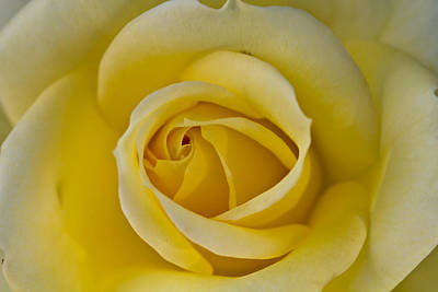 Centered Beautiful Yellow Rose Art Print by Dina Calvarese