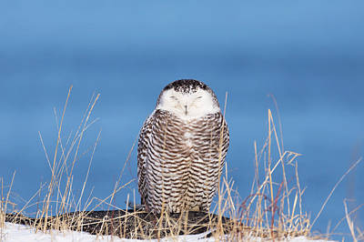 Photograph - Centered Snowy Owl by Brian Hale