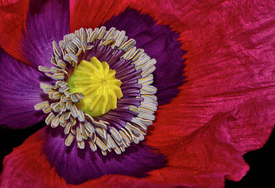 Photograph - Centerpiece - Poppy 041 by George Bostian