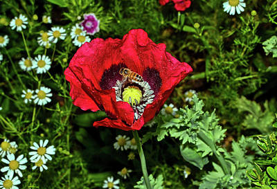 Photograph - Centerpiece - Poppy And A Bee 008 by George Bostian