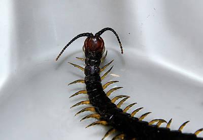 Photograph - Centipede by Miroslava Jurcik