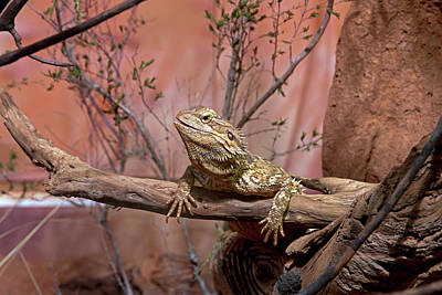 Photograph - Central Bearded Dragon  by Miroslava Jurcik