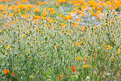 Photograph - Central California Wildflowers by Ram Vasudev