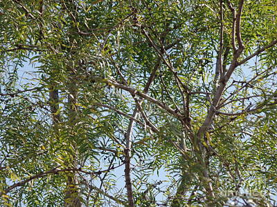 Art Print featuring the photograph Central Texas Sky View Through Mesquite Trees by Ray Shrewsberry