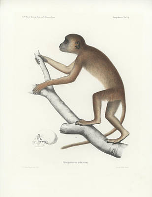 Drawing - Central Yellow Baboon, Papio C. Cynocephalus by J D L Franz Wagner