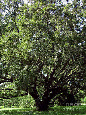 Photograph - Century Oak by D Hackett
