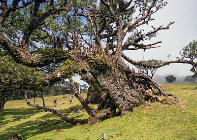 Fanal Photograph - Century Old Tree At Fanal In Madeira by Claudio Maioli
