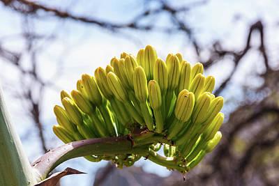 Photograph - Century Plant Flower by Lon Dittrick