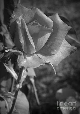 Photograph - Century Two Rose by Sara Raber
