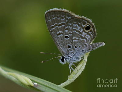 Photograph - Ceraunus Blue by Myrna Bradshaw