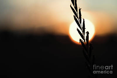 Photograph -  Cereals Silhouette At Sunset by Giovanni Malfitano