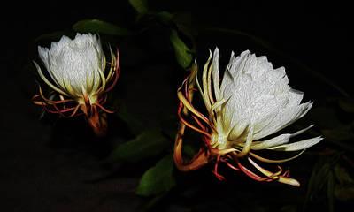 Epiphyllum Oxypetalum Photograph - Cereus Couple by Belinda Nagy