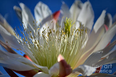 Orchid Cactus Photograph - Cereus In The Sun by Deb Halloran