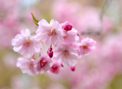 Cherry Blossom Tree Photograph - Cerise  by Jessica Jenney