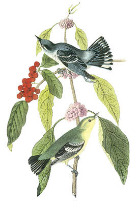 Warbler Painting - Cerulean Warbler by John James Audubon