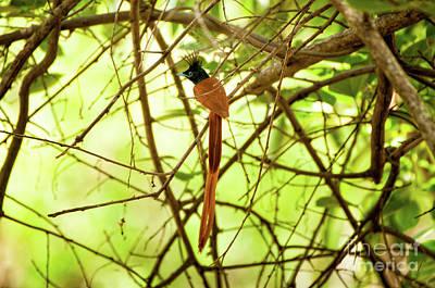 Photograph - Ceylon Paradise Flycatcher by Venura Herath