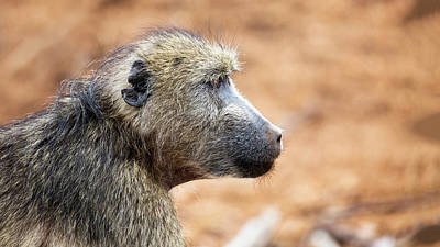 Photograph - Chacma Baboon Closeup Profile by Susan Schmitz