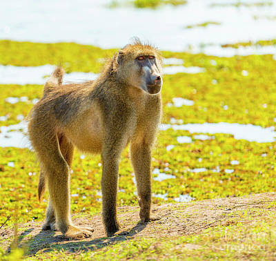 Royalty-Free and Rights-Managed Images - Chacma Baboon by Tim Hester