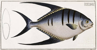 Trout Fishing Drawing - Chaetodon Glaucus by German School