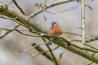 Photograph - Chaffinch by Darren Wilkes