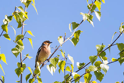 Finch Wall Art - Photograph - Chaffinch by Chris Dale