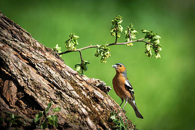 Photograph - Chaffinch Posing by Framing Places