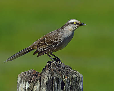Photograph - Chalk-browed Mockingbird by Tony Beck