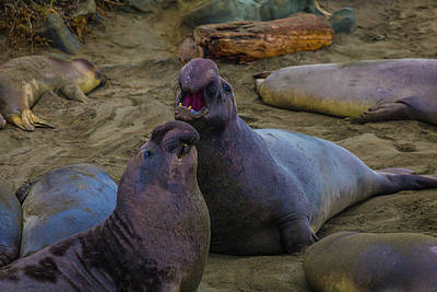 Challenging Elephant Seals Art Print by Garry Gay