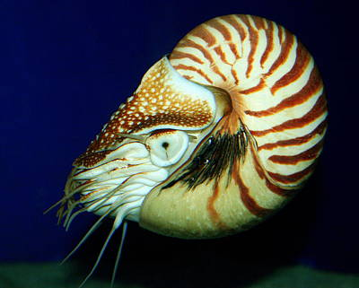 Photograph - Chambered Nautilus At California's Birch Aquarium by Laurel Talabere
