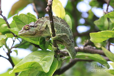 Photograph - Chameleon On Branch by Robin Maria Pedrero