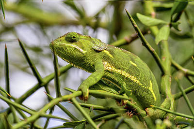Photograph - Chameleon On Thorned Branch by Marilyn Burton