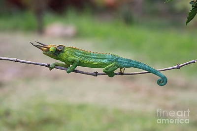 Photograph - Chameleon Tight Rope Walker by Robin Maria Pedrero