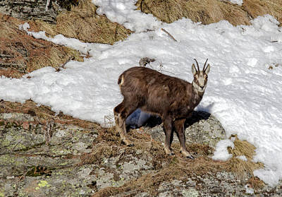Photograph - Chamois In The Snow by Pietro Ebner