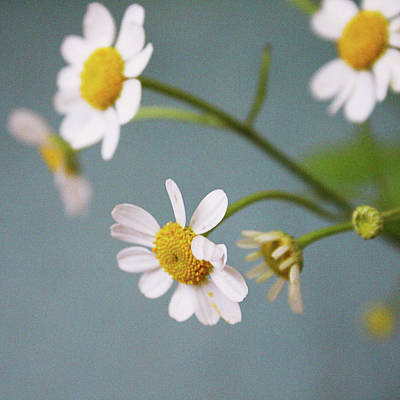 Photograph - Chamomile Dream 1- Art By Linda Woods by Linda Woods