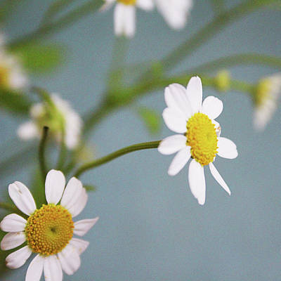 Photograph - Chamomile Dream 3- Art By Linda Woods by Linda Woods