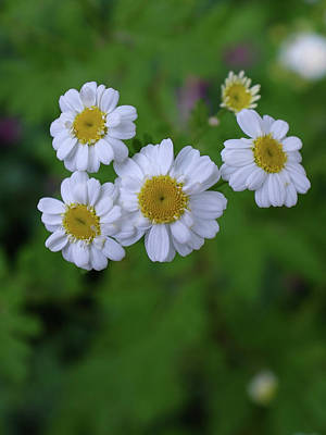 Photograph - Chamomile Flowers by Keith Boone