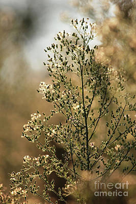 Photograph - Chamomile by Kenny Glotfelty