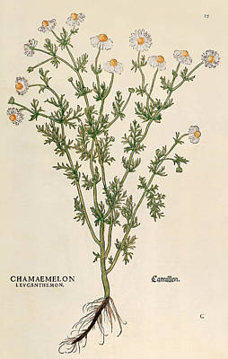 Daisies Drawing - Chamomile by Leonhart Fuchs