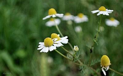 Photograph - Chamomile by Marija Djedovic