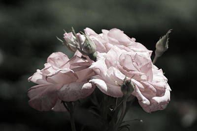 Winter Animals Rights Managed Images - Champagne Blush Roses in Chicago Botanical Garden Royalty-Free Image by Colleen Cornelius
