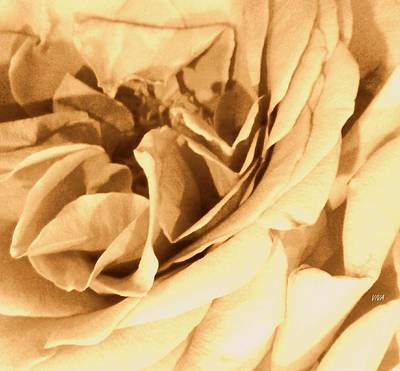 Photograph - Champagne Rose-upclose by VIVA Anderson