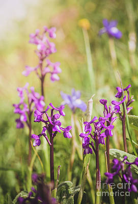Photograph - Champagne's Orchid , Orchis Champagneuxii, Spain by Perry Van Munster