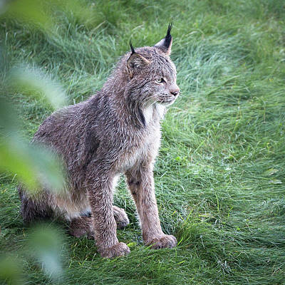 Photograph - Champion Mama Lynx by Tim Newton