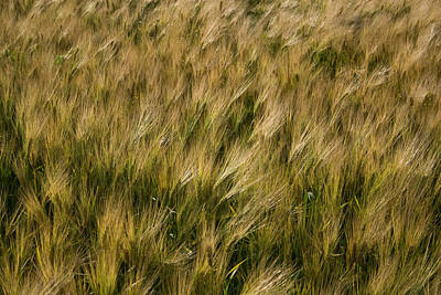 Photograph - Changing Wheat by Dylan Punke