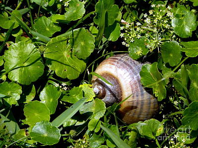 Photograph - Channel Apple Snail by Terri Mills