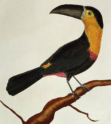 Toucan Drawing - Channel Billed Toucan Ramphastos Vitellinus by French School