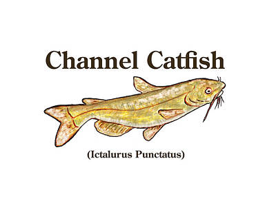 Channel Catfish Watercolor Art Print by Janice Knauss