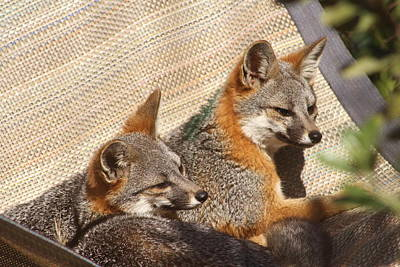 Photograph - Channel Island Foxes by Diana Chase