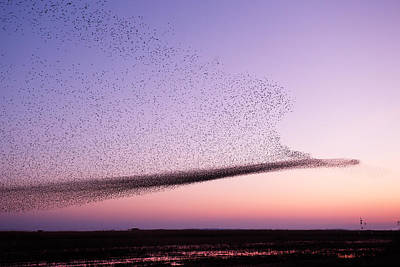 Chaos In Motion - Starling Murmuration Art Print by Roeselien Raimond